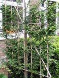 carpinus haagscherm