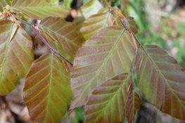 Rode Beuk (Fagus sylvatica Atropunicea)