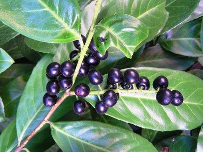 Prunus novita